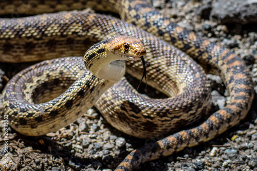 A Pacific Gopher Snake (Pituophis catenifer ) is poised to strike, in the hills of Monterey, California.