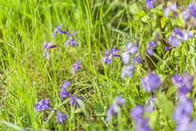 Spring Outdoors, Blooming Purple February Orchids And Green Leaves,Orychophragmus Violaceus