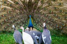 Male Peacock Show Female Peaco...