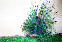 Peacock With Feather Detail, Peacock Wallpaper