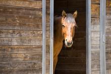 Portrait Of Horse In Barn Door.
