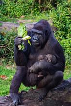 Gorilla Holding Gorilla Baby