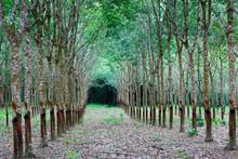 Rubber Tree In Rubber Tree Pla...