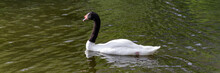 Black Necked Swan Cygnus Melancoryphus Is A Swan That Is The Largest Waterfowl Native To South America.