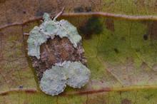 Macro Photo Of A Beautiful Flatid Hopper From Borneo