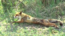 A Red Fox Yawns, Stretches And...