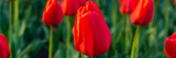 Fototapeta Tulipany - Many red tulips on a flowerbed in the park.