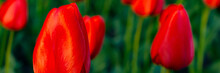 Many Red Tulips On A Flowerbed In The Park.