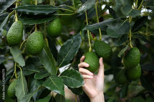 Stampa su Tela Woman's hands harvesting fresh ripe organic Hass Avocado