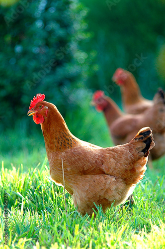 Fotografía Crianza de gallina ecológica.