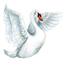 Watercolor White Swan Illustra...
