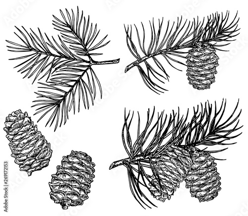 Fototapeta Vintage pine cone and branches element. Hand drawn winter botanical illustration for holiday decor. Pine branches and cones, cedar pine elements. obraz