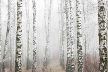 Young birches with black and white birch bark in spring in birch grove against background of other birches in foggy weather