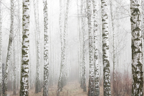 Cadres-photo bureau Bosquet de bouleaux Young birches with black and white birch bark in spring in birch grove against background of other birches in foggy weather