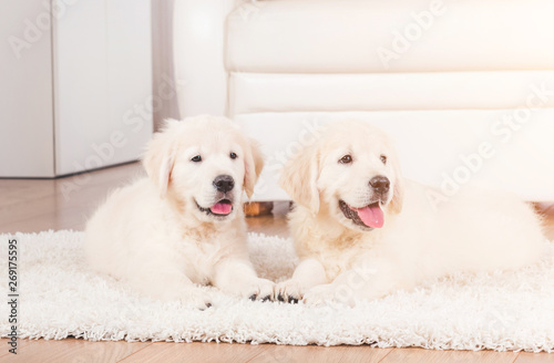 Spoed Foto op Canvas Hond Two cute fluffy retriever breed puppies at home