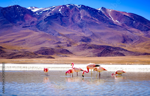 Fotobehang Flamingo Beautiful flamingos at sunshine lagoon in mountanious Bolivia
