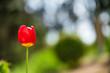 Tulpe im harten Sonnenschein