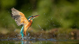 Fototapeta Zwierzęta - Female Kingfisher emerging from the water after an unsuccessful dive to grab a fish.  Taking photos of these beautiful birds is addicitive now I need to go back again.