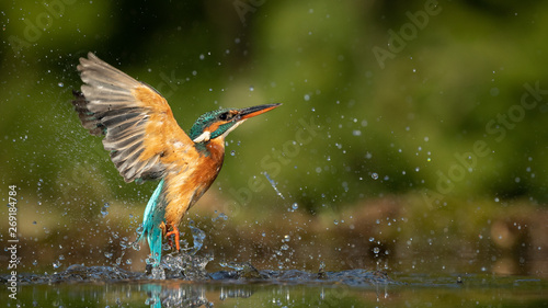 Valokuvatapetti Female Kingfisher emerging from the water after an unsuccessful dive to grab a fish