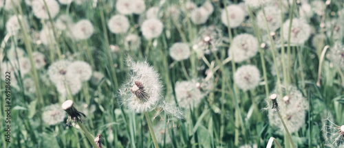 Poster Paardenbloem Dandelion on natural background. Dandelion flower on summer meadow