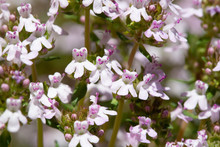 Detail Of Flowering Thym - Thymus Vulgaris - On A Sunny Day In Spring.