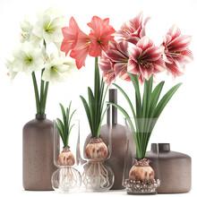 Hippeastrum In A Flower Pot