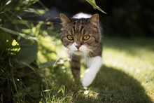 Tabby White British Shorthair Cat Lurking Through The Back Yard Next To Plants