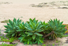 Green Spike Plant On The Sandy...