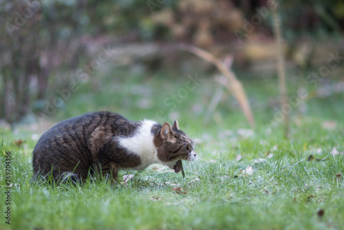 Fotografie, Obraz side view of a tabby white british shorthair cat vomit in back yard on lawn