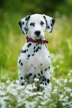 Dalmatian Puppy In A Flower Meadow