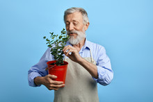 Young Bearded Man, Dressed In Blue Shirt And Gray Apron Taking Care Of Flowers. Close Up Portrait. Isolated Blue Background. Old Man Touching Leaves Of House Flower. Man Looking For Dry Leaves