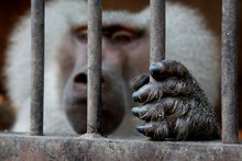 A Monkey Sitting Inside A Cage...