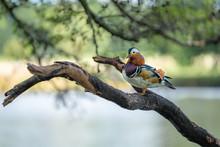 Mandarin Duck On A Branch