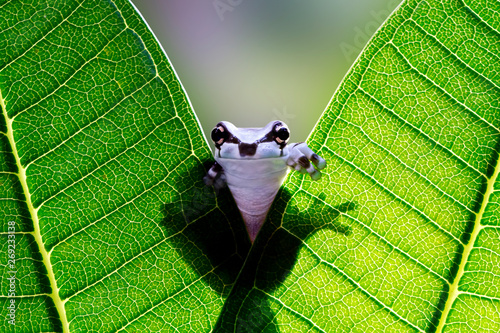 Tuinposter Kikker Beautiful amazon milk frog on green leaves, Panda Bear Tree Frog, Trachycephalus resinifictrix