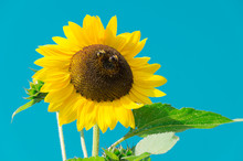 Sunflower With Two Bees Against Blue Cloudless Sky