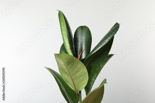 Recess Fitting Plant Beautiful rubber plant on white background. Home decor