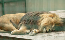 A Tired Male Lion Sleeping In The Sun.