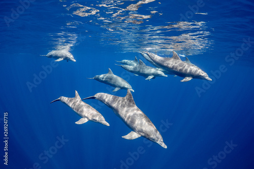 Spoed Foto op Canvas Dolfijn A school of bottlenose dolphins off the coast of Mauritius island