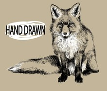 Fox. Professional Drawing In Vintage Style. Cute Fluffy Fox. Arctic Fox In Winter Coat. Freehand Drawing. Ink Drawing, Drawing Pen.