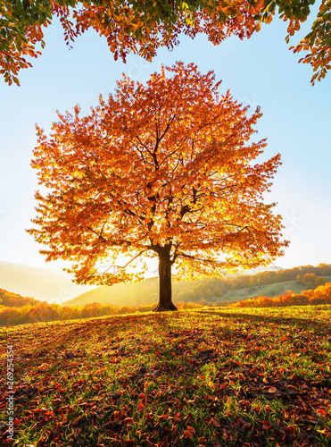 Fotobehang Oranje eclat On the lawn covered with leaves at the high mountains there is a lonely nice lush strong tree and the sun rays lights through the branches with the background of blue sky. Beautiful autumn scenery.