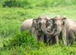 Leinwandbild Motiv A herd of Asian Elephants are protectively a newborn elephant calf in the fields of Kui Buri National Park, Thailand.