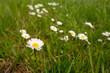 canvas print picture - Gänseblümchen Blüte weiß Blumenwiese