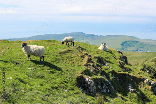 Fotografie, Obraz Sheep roaming free - Isle of Skye