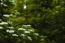 Summer Background. Flowering Bush Viburnum With Dark Green Leaves. Selective Focus, Blurred Background, Copy Space. Summer Image In Dark Colors. Vintage, Retro Style.