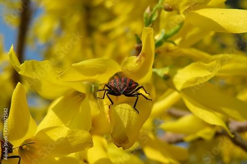 Obraz na plátne Beetle on forsythia flowers