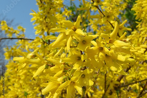 Tablou Canvas Beautiful forsythia flowers