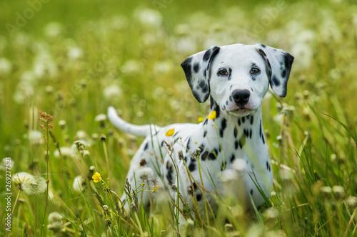 Obraz Dalmatian puppy in a dandelion meadow - fototapety do salonu