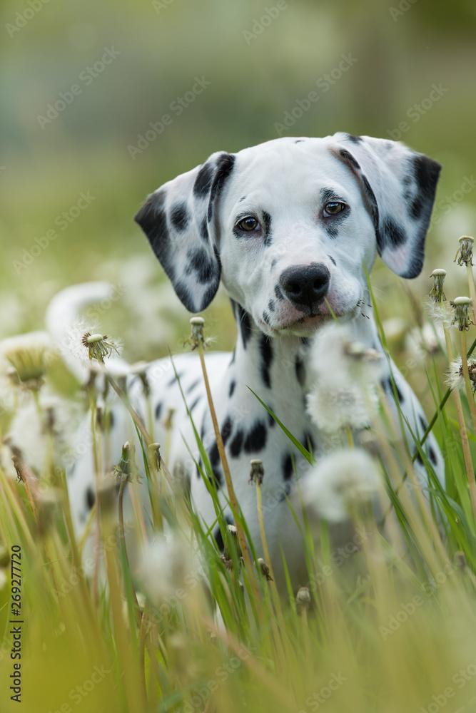 Dalmatian puppy in a dandelion meadow