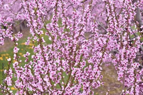 Papiers peints Lilas Pommiers en fleurs au printemps à Niagara, Ontario, Canada