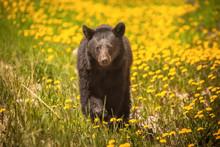 Bear Walking Through Yellow Flowers In Jasper National Park, Alberta, Canada